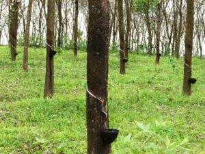 Kaucsuk fák - Sivatagi cserjéből készített gumiabroncsot a Bridgestone - ClimeNews